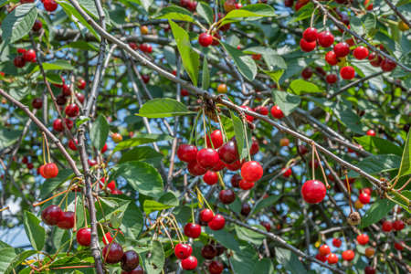 Clusters of ripe cherry berries on the branches. Cherry tree on a bright Sunny day. Imagens