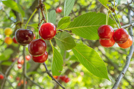 Cherry branches with ripe red berries. Close up. Cherry tree on a bright Sunny day. Imagens