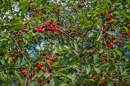 A cherry tree with many red cherry fruits on its branches. Cherry tree on a bright Sunny day. Imagens