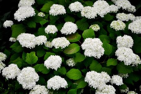 White Hydrangea Flowers. Closeup, macro of a flower, white hortensia, hydrangea. Stockfoto