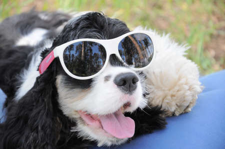Funny American black and white cocker spaniel with open mouth and tongue hanging out, wearing funny sunglasses, lying on an air mattress on the grass on a sunny day
