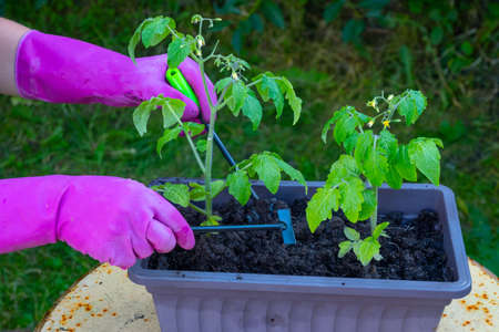 Hands of a woman transplants tomato seedlings from a box into the ground.
