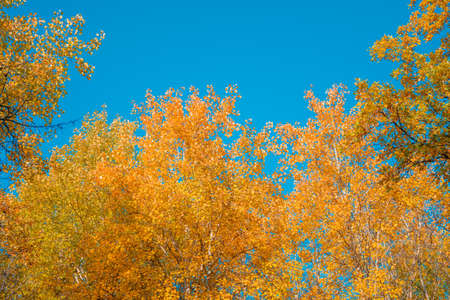 Crowns of trees covered with colorful yellow and orange autumn leaves against a clear blue sky Stok Fotoğraf
