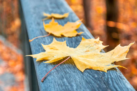 Yellow autumn maple leaves on the wooden railing of the pedestrian bridge. Leaf fall in the maple forest. Stok Fotoğraf