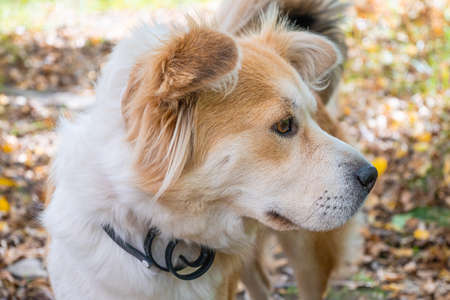 A dog wearing a dog collar against fleas and ticks on a lawn in the autumn forest looks carefully away. Close-up of a beautiful white-red dog.