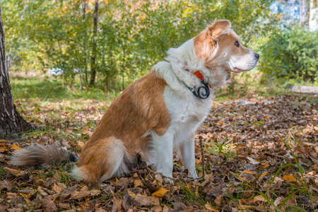A dog wearing a dog collar against fleas and ticks sits on a lawn in the autumn forest in profile and looks intently ahead.