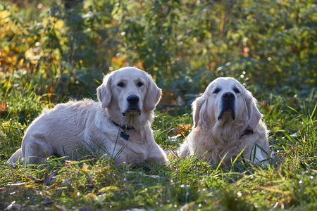 breed: young dog. Breed Golden Retriever