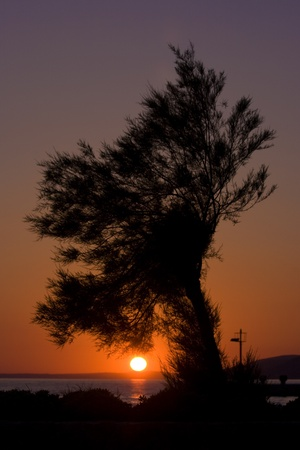 starigrad:  Pine tree at sunset