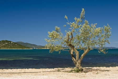 Olive tree on the coastline of Turanj with the blue sea photo