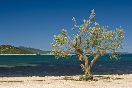mediterranean sea: Olive tree on the coastline of Turanj with the blue sea Stock Photo