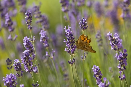 Lavender and the orange butterfly in the medival Mediterranean garden photo
