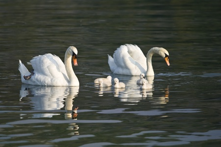 Beautiful white swans with their nestling in Skradin photo