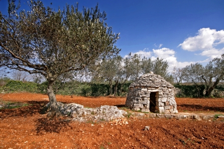 Olive tree with the Istrian shelter kazun and the stonewall Stock Photo