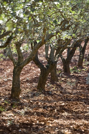 Olive grove on the red Istrian land near Vodnjan photo