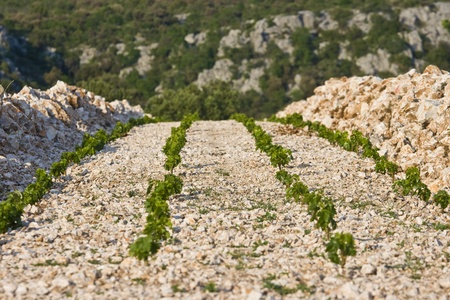View on the famous Primosten vineyards and the ground