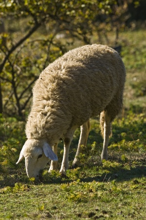 sheeps: Ship on the meadow