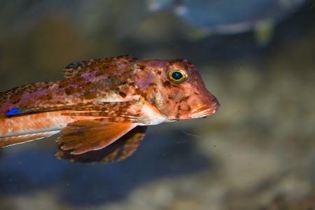 subaquatic: Streaked gurnard