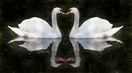 song bird: Swans in love