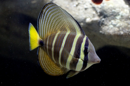 damsel: Damselfish swimming in the water