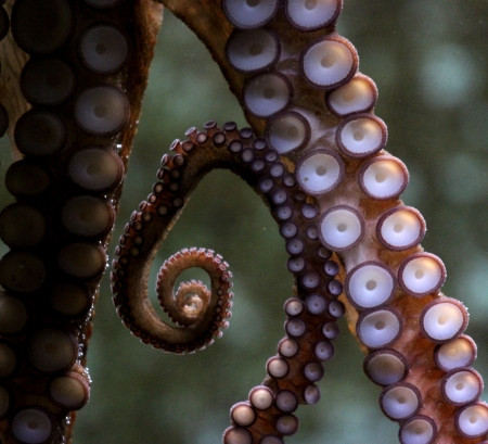 suction: Octopus suction cups on the glass