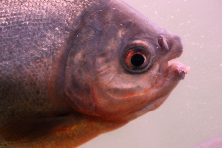 pygocentrus: The piranha in the water watching