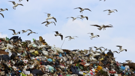 castaway: Flock of seagulls above the garbage  Stock Photo