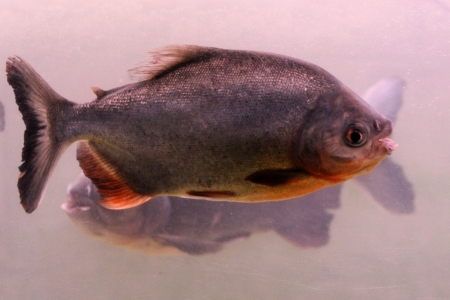 pygocentrus: The piranha in the water