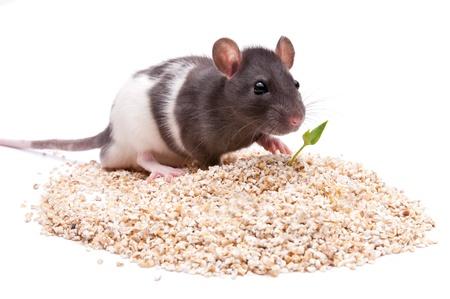 roedor: roedor