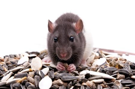 hungry rat Standard-Bild
