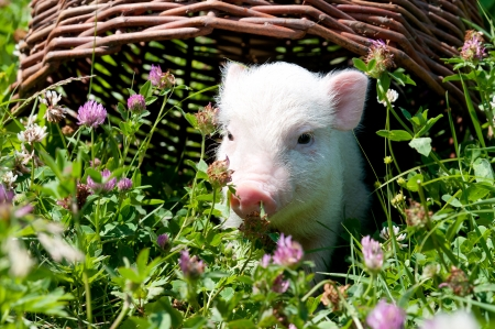 Vietnamese pig, eating grass on a sunny day, a young pig Stock Photo - 13936842
