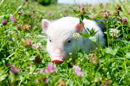 Vietnamese pig, eating grass on a sunny day, a young pig Stock Photo - 13936863