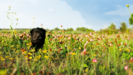 dog sitting in a flower field, shar photo