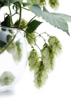 humulus: Humulus tree branch in a glass Stock Photo