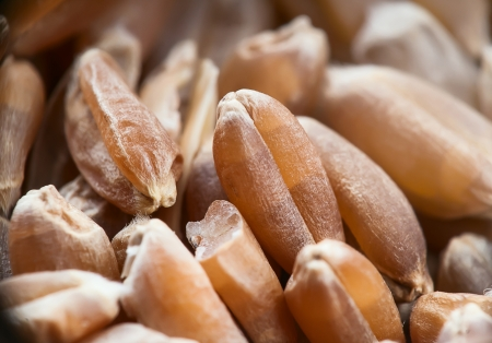 wheat under magnification, macro