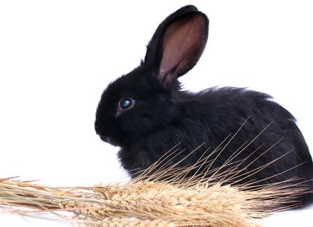 close-up do coelho preto bonito comer salada verde