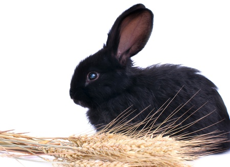 close-up of cute black rabbit eating green salad