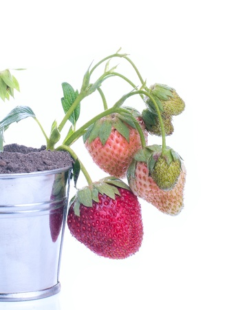 Jovem planta morango em um fundo branco