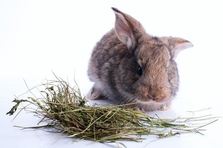 graue Kaninchen frisst Heu ?ber wei?e