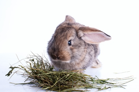 grey rabbit is eating hay over white