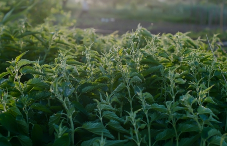 green stinging nettle in garden photo