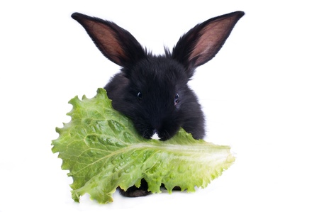 Small racy dwarf black bunny isolated on white background. photo