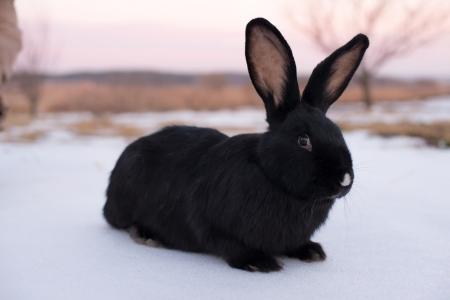 racy: Small racy dwarf black bunny on white background