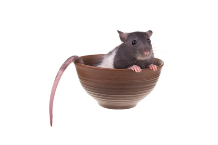 Young small rat in a cup, isolated