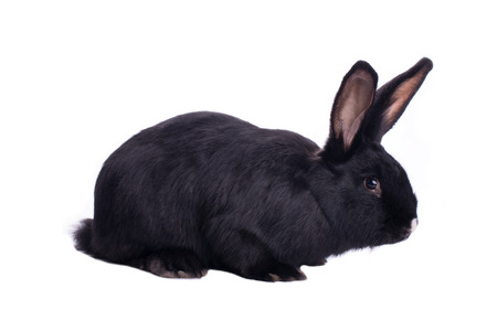 Small racy dwarf black bunny isolated on white background
