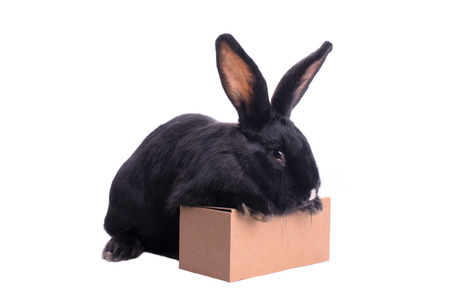 racy: racy dwarf black bunny on a box isolated on white background Stock Photo