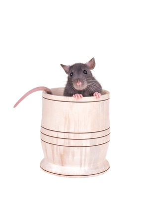 Young small rat in a cup, isolated photo