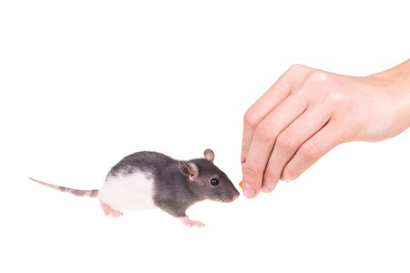 Young small rat with hand