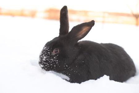 Rabbit in snow Stock Photo