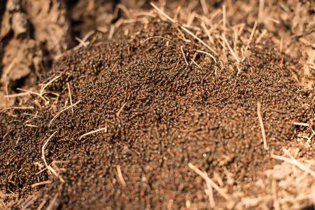 ameisenhaufen: Holz Ameisen im Ameisenhaufen Makro-Foto, gro�e Ameisenhaufen close up, Ameisen im Ameisenhaufen, selektiven Fokus bewegt