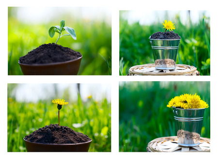 small metal bucket with dandelions on a grass background